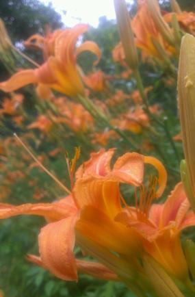 Tiger lilies at their peak