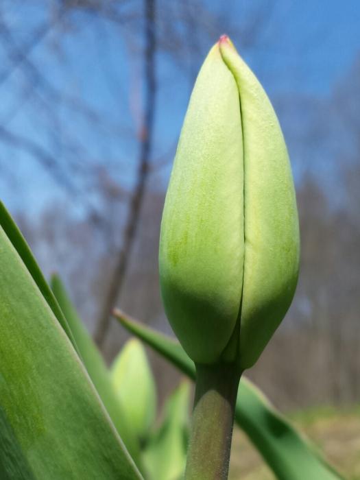 m-tulip 2