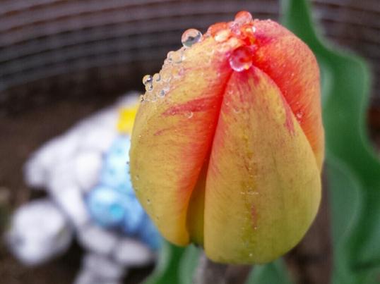 m-tulip 3
