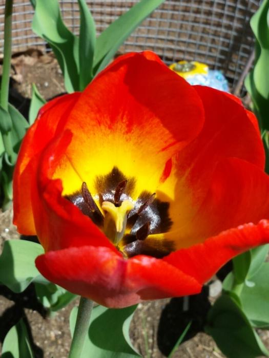 m-tulip 5