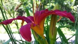 Daylilies, #7