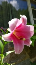 Trumpet lily! #8