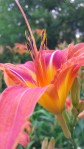 Tiger lilies, 3rd to bloom!