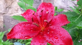 Asiatic, after the rain, 4th